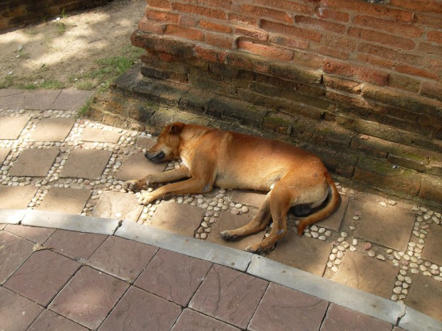 Sleeping dog at Ayutthaya