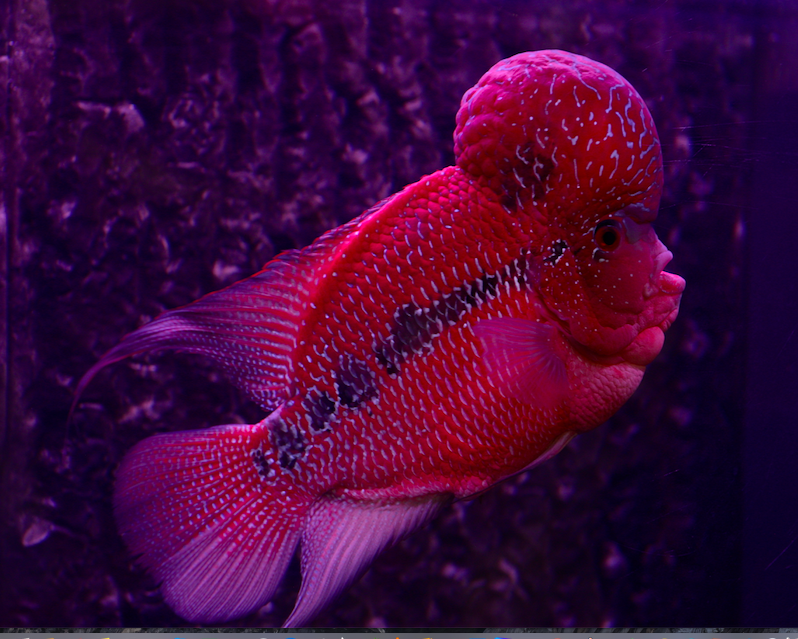 The Flowerhorn Crossbreed Fish really looks brainy