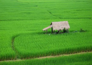 A Thai paddy field, abundant crops arevital (photo credit: Takeaway, wikimedia.org)
