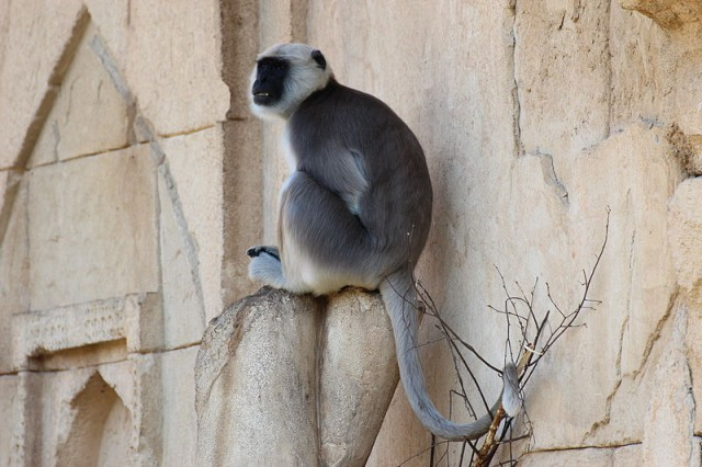 Hanuman langur, in the Thai Ramakian Hanuman is known as the clever monkey god (photo credit: XenonX3, wikipedia.org)